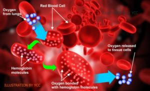 Increase Blood Oxygenation transportation in the blood